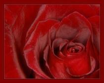 Just a Rose - again