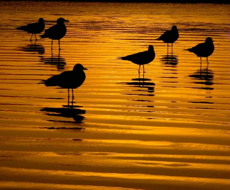 Gulls Wading