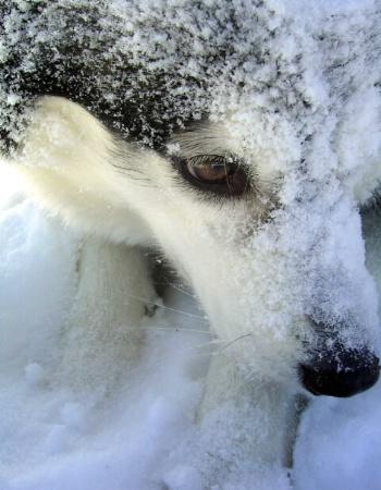 Husky Weather II