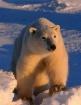 polarbear comes