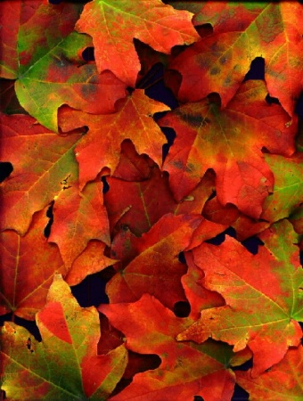 Blotchy Maple Leaves
