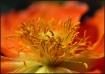 Poppy Stamens