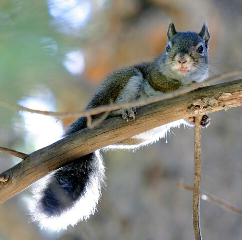 Chickaree (Red tree squirrel/lodge pole pine)