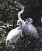 Big baby egrets s...