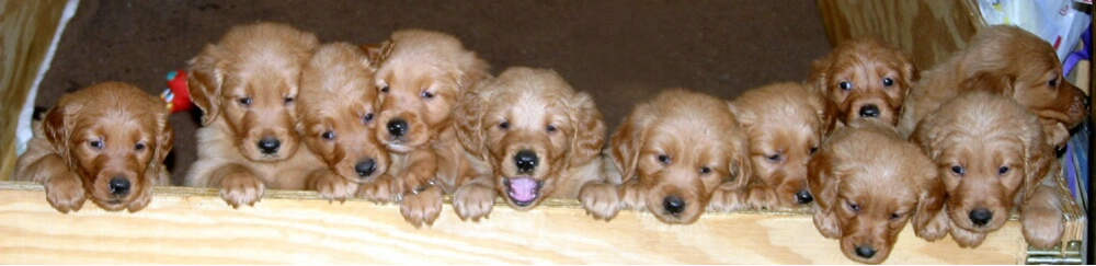 Eleven puppies