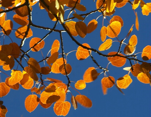 Aspen leaves autumn