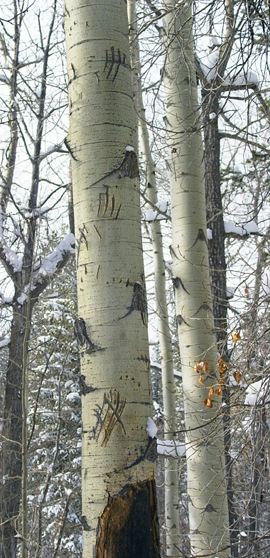 Vertical Bear Tracks