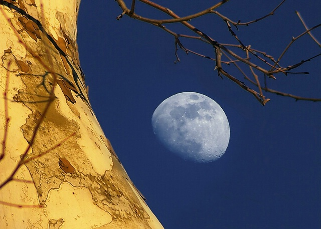 Moon and Sycamore