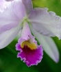 Spray Orchid