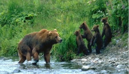 rare bear shot mom with 4 springcubs