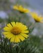 Mountain Flower a...