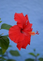Red Hibiscus on a blue wall