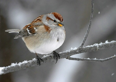 American Tree Sparrow in light snow dusting