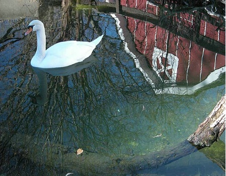 Reflections - Swan and Red Barn