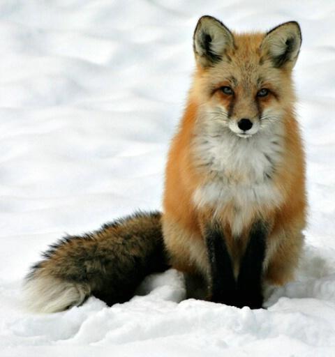 Patient Fox