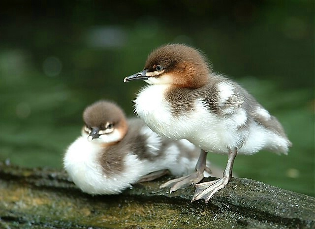 twin ducks