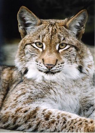 Lynx Close-up