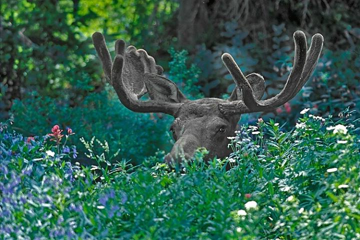 Summer Moose
