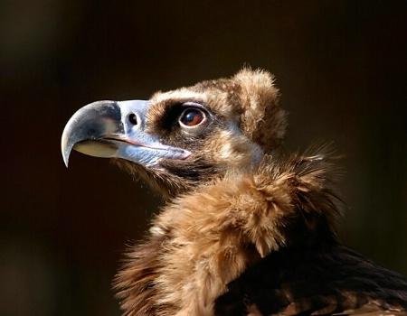 Vulture wearing mink