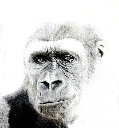 Gorilla - ABQ Zoo
