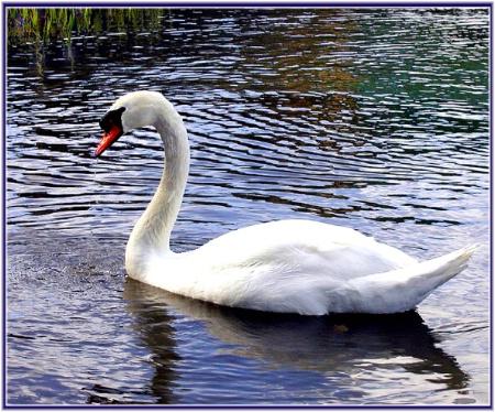 Abbotsbury Swan 3