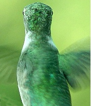 Hummingbird #5