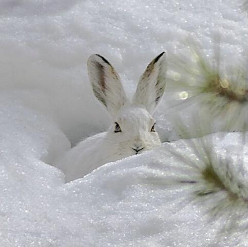 Snowshoe Hare II