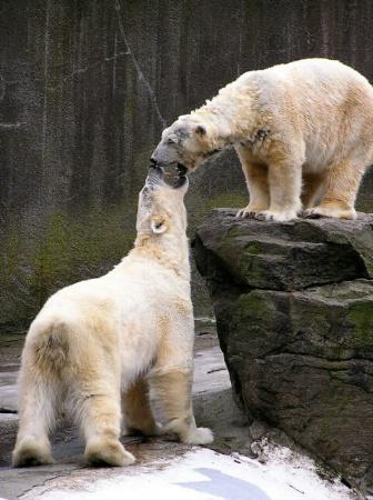 Brawling Bears