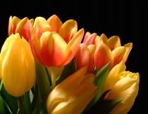 Yellow and Varigate Tulips