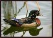 wet duck