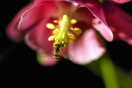 The World According to Hoverflies(w)