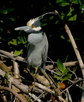 Yellow-crowned Night Heron, plumage