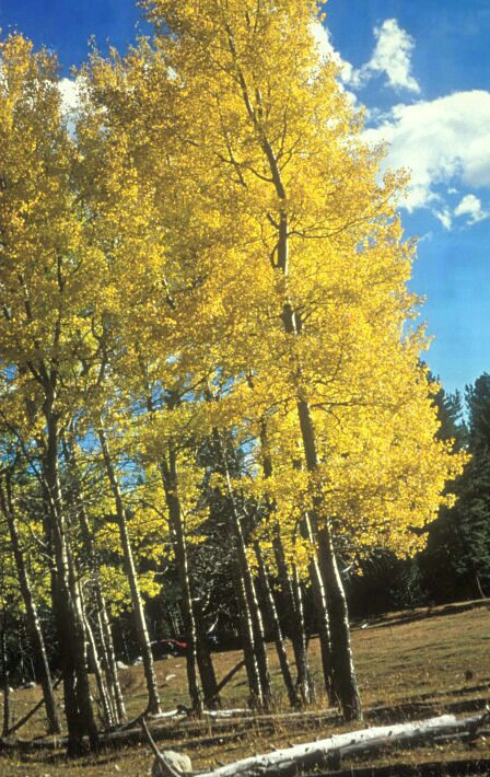 Aspens Bright in Meadow  #2132 - ID: 317648 © Shirley  Scott