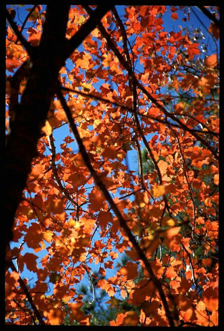 Tree of Orange  #1834 - ID: 317806 © Shirley  Scott
