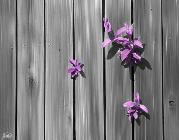 Purple Suckle.