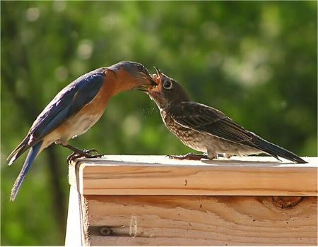 Eastern Bluebirds - Papa feeds fledgling