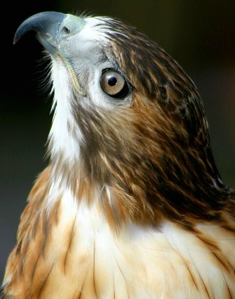 Hawk Profile #4