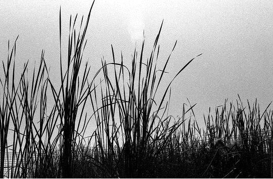 reeds on river bank