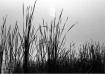 reeds on river ba...