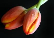 Crying tulip