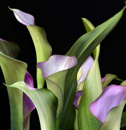 RESUBMITTED  - Calla Lillies