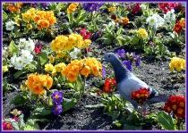 Pigeon In Springtime