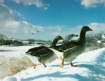 Geese in the snow