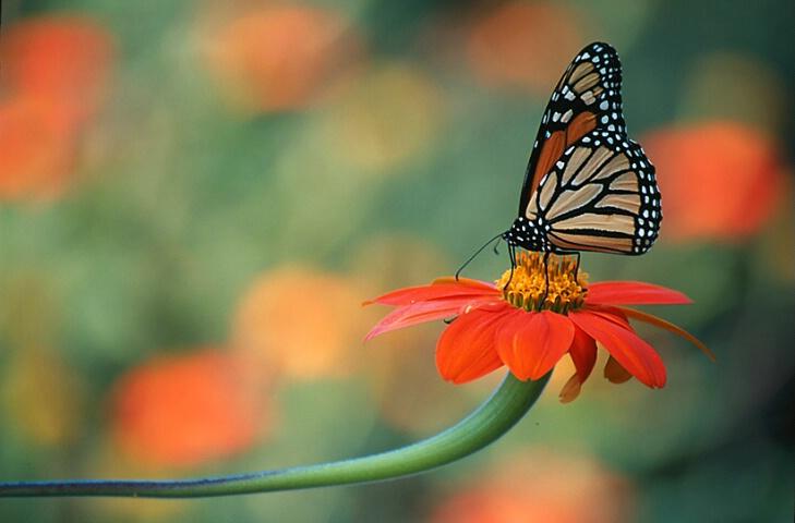 Monarch with zinnia