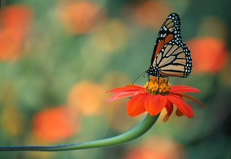 Monarch with zinnia