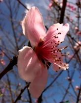 Peach Wannabee