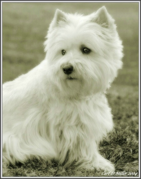 Westie from the Northeast