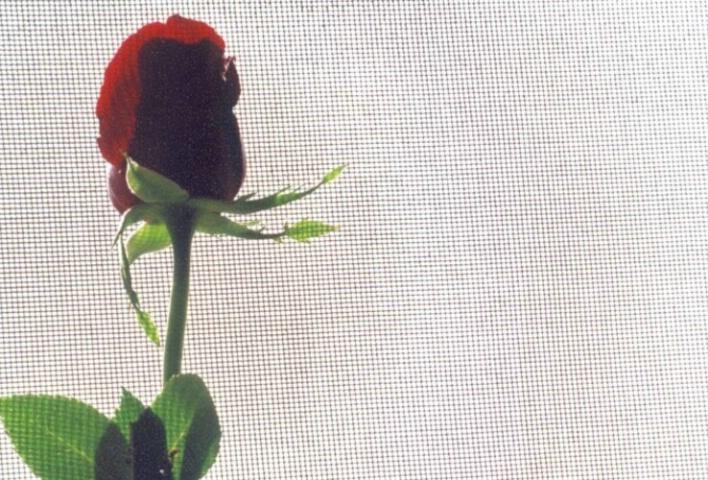screened rose