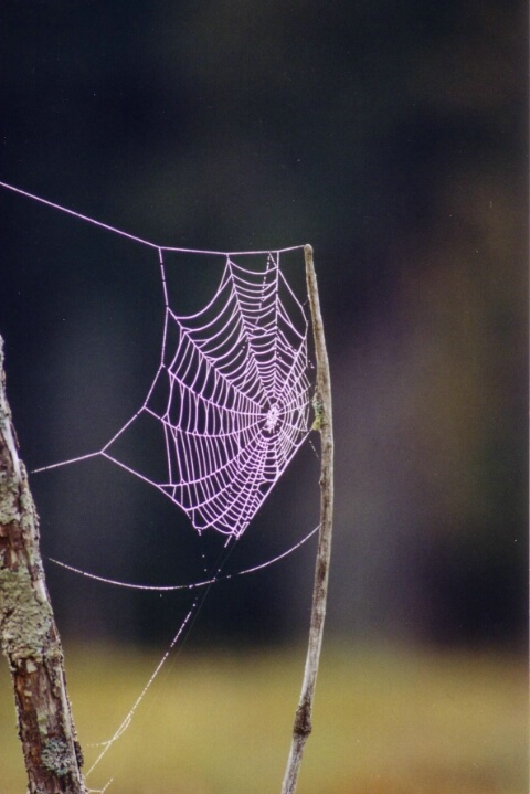 Cob Web In The Morning Dew