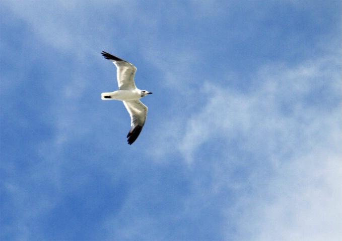 South Carolina Seagull